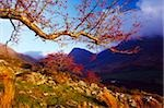 Macgillycuddy's Reeks, County Kerry, Ireland; Rowan tree Stock Photo - Premium Rights-Managed, Artist: IIC, Code: 832-03232891