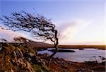 Connemara, Co Galway, Ireland; Windblown tree Stock Photo - Premium Rights-Managed, Artist: IIC, Code: 832-03233527