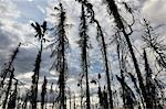 Burnt Trees, Fortymile River Region, Alaska, USA Stock Photo - Premium Royalty-Free, Artist: Jochen Schlenker, Code: 600-03240619