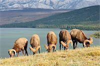 ram (animal) - Group of Bighorn Sheep Feeding Near Lake Talbot, Jasper National Park, Alberta, Canada Stock Photo - Premium Royalty-Freenull, Code: 600-03240727