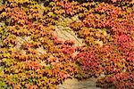 Virginia Creeper, Germany Stock Photo - Premium Royalty-Free, Artist: Raimund Linke, Code: 600-03240842