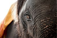 Close up of the eye of an elephant Stock Photo - Premium Royalty-Freenull, Code: 614-03241245