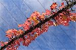 Virginia Creeper on Arbor Stock Photo - Premium Rights-Managed, Artist: Raimund Linke, Code: 700-03243982