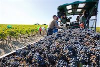farmhand (female) - Grape Harvest at Chateau Lynch-Bages, Pauillac, Gironde, Aquitaine, France Stock Photo - Premium Rights-Managednull, Code: 700-03244030