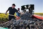 Grape Harvest at Chateau Lynch-Bages, Pauillac, Gironde, Aquitaine, France Stock Photo - Premium Rights-Managed, Artist: Patrick Chatelain, Code: 700-03244031