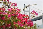 Bougainellea with Tsing Ma Bridge in background, Ma Wan, Hong Kong Stock Photo - Premium Rights-Managed, Artist: Oriental Touch, Code: 855-03252784