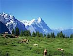 Cows in alpine meadow with Eiger mountains beyond, Grindelwald, Bern (Berne), Bernese Oberland, Swiss Alps, Switzerland Stock Photo - Premium Rights-Managed, Artist: Oriental Touch, Code: 855-03254863