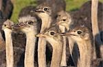 Close -Up of inquisitive Common Ostriches (Struthio camelus), Overberg Region, Western Cape Province, South Africa Stock Photo - Premium Royalty-Free, Artist: Aurora Photos, Code: 682-03285800