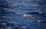 Black-browed albatross (diomedia melanophris). Stock Photo - Premium Rights-Managed, Artist: AWL Images, Code: 862-03288419