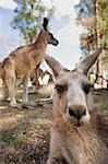 Grey Kangaroo (Macropus giganteus) Stock Photo - Premium Rights-Managed, Artist: AWL Images, Code: 862-03288648