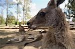 Grey Kangaroo (Macropus giganteus) Stock Photo - Premium Rights-Managed, Artist: AWL Images, Code: 862-03288649