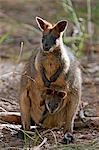 Australia,Victoria. A wallaby and her joey on Phillip Island. Stock Photo - Premium Rights-Managed, Artist: AWL Images, Code: 862-03289113
