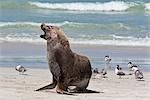 Australia,South Austrailia. An Australian Sea Lion on a beach at Kangaroo Island. There remain about 10,000 of these endangered pinnipeds in the world,living on the southern coast of Australia.