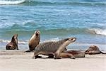 Australia,South Austrailia. Australian Sea Lions on a beach at Kangaroo Island. There remain about 10,000 of these endangered pinnipeds in the world,living on the southern coast of Australia.