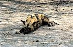 Botswana,Okavango Delta,Moremi Game Reserve. Wild Dog (Lycaeon pictus) lying in the shade during the heat of the day Stock Photo - Premium Rights-Managed, Artist: AWL Images, Code: 862-03289531