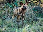 A wild dog near the Kwai River in the northeast corner of the Moremi Game Reserve. Stock Photo - Premium Rights-Managed, Artist: AWL Images, Code: 862-03289612