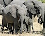 A herd of elephants in dry country near the Chobe River. Stock Photo - Premium Rights-Managed, Artist: AWL Images, Code: 862-03289625