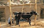 A donkey is restrained as it is shod in Kashgar's old quarter Stock Photo - Premium Rights-Managed, Artist: AWL Images, Code: 862-03289867