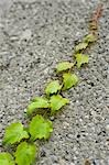 Ivy on Wall Stock Photo - Premium Royalty-Free, Artist: Bettina Salomon, Code: 600-03290210