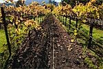 View of Vineyard in Autumn, Napa Valley, California, USA Stock Photo - Premium Rights-Managed, Artist: Damir Frkovic, Code: 700-03294967
