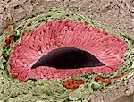Foetal sense organ. Coloured scanning electron micrograph (SEM) of a section through a foetal olfactory (smelling) sense organ known as the vomeronasal organ (VNO), or Jacobson's organ. The vomeronasal organ is found in the nasal septum and is mainly used to detect pheromones, which are chemical messengers that carry information between individuals of the same species. Magnification: x250 when pri Stock Photo - Premium Royalty-Free, Artist: Cultura RM, Code: 679-03298437