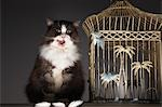 Cat sitting next to empty birdcage, licking chops Stock Photo - Premium Royalty-Free, Artist: Oriental Touch           , Code: 693-03303317