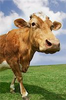Brown cow walking in field Stock Photo - Premium Royalty-Freenull, Code: 693-03303685