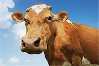 Close-up low angle view of brown cow against blue sky Stock Photo - Premium Royalty-Freenull, Code: 693-03303691