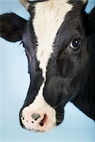Cow against blue background, close-up of head Stock Photo - Premium Royalty-Freenull, Code: 693-03303717