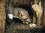 Weasel stealing eggs from nest Stock Photo - Premium Royalty-Free, Artist: Minden Pictures, Code: 693-03303868