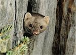 Weasel peeking from hollow tree Stock Photo - Premium Royalty-Free, Artist: Minden Pictures, Code: 693-03303869