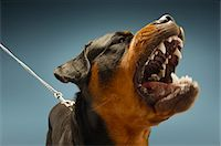 Angry Rottweiler on blue background Stock Photo - Premium Royalty-Freenull, Code: 693-03304984