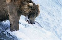 Grizzly bear swimming with fish in mouth Stock Photo - Premium Royalty-Freenull, Code: 693-03306342