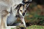 Joey Kangaroo with mother, close-up Stock Photo - Premium Royalty-Free, Artist: Minden Pictures, Code: 693-03306401