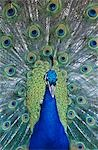 Peacock displaying feathers, close-up Stock Photo - Premium Royalty-Free, Artist: Raimund Linke, Code: 693-03306429