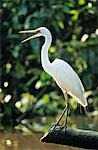 White Heron perched on log Stock Photo - Premium Royalty-Free, Artist: F. Lukasseck, Code: 693-03306538