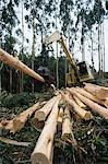 Plantation Eucalyptus (Bluegum) trees being harvested for woodchipping Stock Photo - Premium Royalty-Free, Artist: David Mendelsohn, Code: 693-03310532