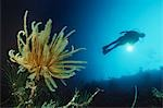 Feather star on reef wall with silhouette of diver in background Stock Photo - Premium Royalty-Free, Artist: Minden Pictures, Code: 693-03311995