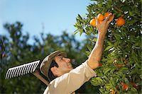 single fruits tree - Farmer picking oranges Stock Photo - Premium Royalty-Freenull, Code: 693-03312663