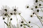 Field of Daisy flowers, low angle view, close up Stock Photo - Premium Royalty-Freenull, Code: 694-03328099