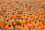 Pumpkins at a Farm in Ontario, Canada Stock Photo - Premium Royalty-Free, Artist: Mike Randolph, Code: 600-03333200