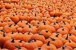 Pumpkins at a Farm in Ontario, Canada Stock Photo - Premium Royalty-Free, Artist: Mike Randolph, Code: 600-03333203