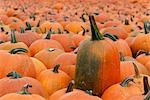 Pumpkins at a Farm in Ontario, Canada