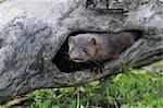 American Mink, Minnesota, USA Stock Photo - Premium Royalty-Free, Artist: Martin Ruegner, Code: 600-03333545