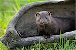 American Mink, Minnesota, USA Stock Photo - Premium Royalty-Free, Artist: Martin Ruegner, Code: 600-03333546