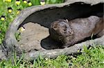 American Mink, Minnesota, USA Stock Photo - Premium Royalty-Free, Artist: Martin Ruegner, Code: 600-03333547