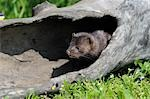 American Mink, Minnesota, USA Stock Photo - Premium Royalty-Free, Artist: Martin Ruegner, Code: 600-03333548