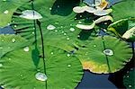 Water-lilies at Yuanmingyuan,Old Summer Palace,Beijing,China Stock Photo - Premium Rights-Managed, Artist: AWL Images, Code: 862-03351008