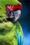 Great green or military macaw (Ara militaris) head and shoulders in lowland rainforests in Vulcan Stock Photo - Premium Rights-Managed, Artist: AWL Images, Code: 862-03352357