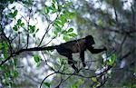 Howler monkey (Alouatta palliata) clambering through tree. Stock Photo - Premium Rights-Managed, Artist: AWL Images, Code: 862-03352359